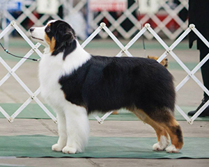 AKC Bronze GCH ASCA CH CopperRidge's Love and War