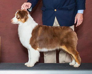 AKC CH Empyrean's First Lady of CopperRidge