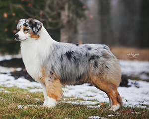 AKC CH Empyrean's Right Fit at CopperRidge
