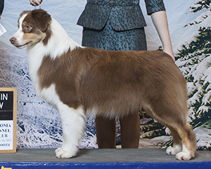 AKC CH CopperRidge's Caught You Looking at Empyrean